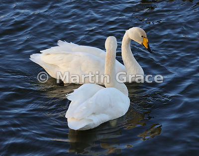 Pair of Whooper Swans (Cygnus cygnus) closely attendant on each other, Dumfries & Galloway, Scotland