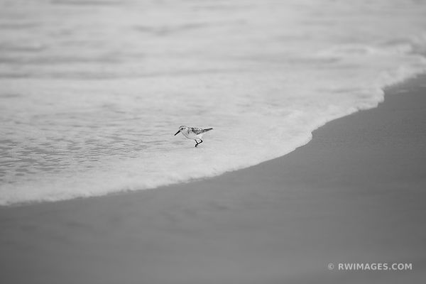 SANDPIPER BEACH WAVE ASSATEAGUE ISLAND NATIONAL SEASHORE MARYLAND BLACK AND WHITE