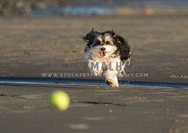 fluffy cavachon dog chases tennis ball on beach