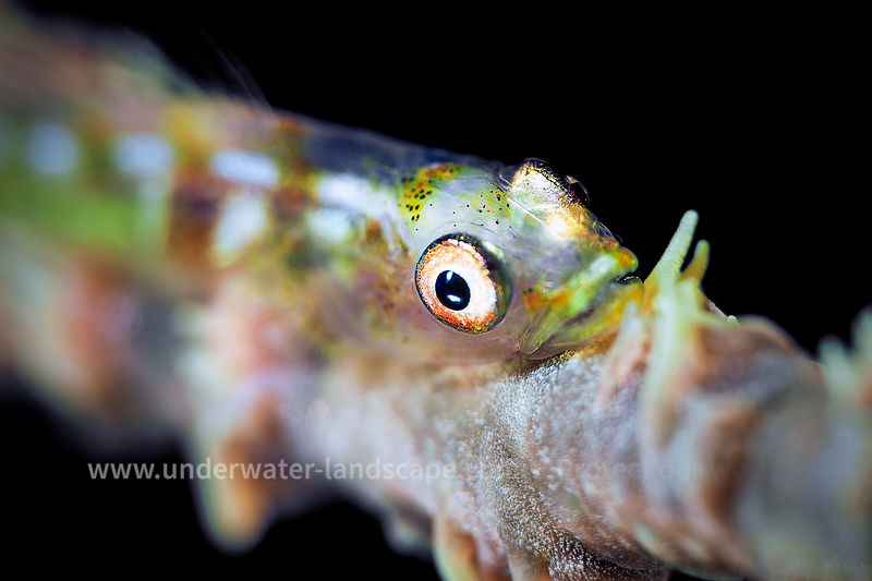 Whip coral goby