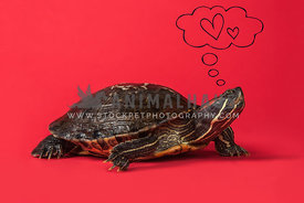 Turtle on red background with heart
