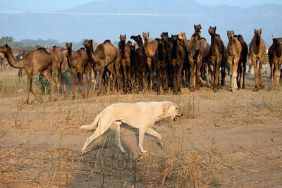 A stray dog walks in front of a group of oncoming camels at the Pushkar Camel Mela, Pushkar, Rajasthan, India.