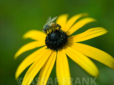 Bee on coneflower, close-up