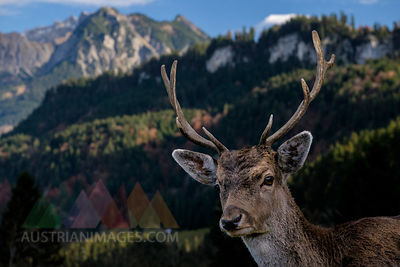 Germany, Allgaeu, Portrait of fallow buck