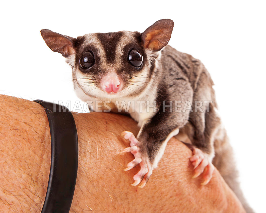 Sugar Glider Perched on a Hand