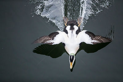 Common eider (Somateria mollissima) male landing, seen from above,  Trondelag Norway, January. Winner of the Portfolio Award ...