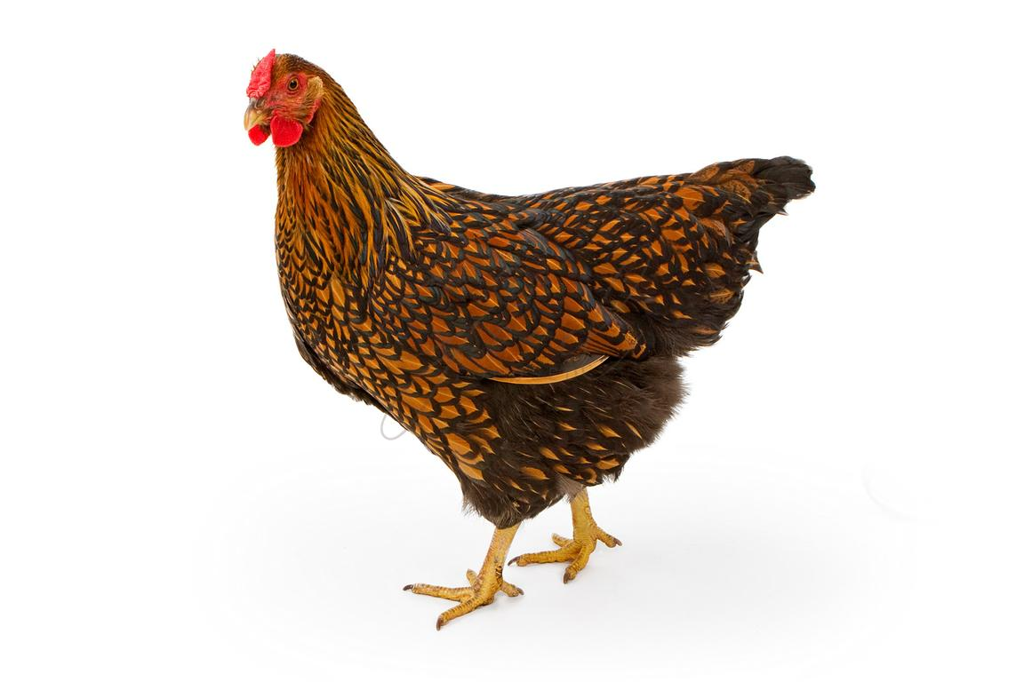 Gold Laced Wyandotte Hen Isolated on White