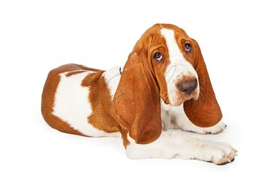Adorable Basset Hound Puppy Laying At An Angle