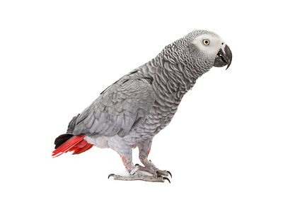 African Grey Parrot Standing to Side