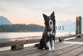 Border Collie sitting on a boat dock with sun rising over the lake in the background