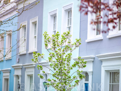 Blossom tree against a houses in London