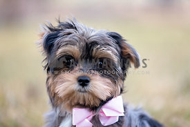 Dog in a pink bow tie