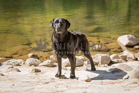 athleitic english labrador retriever dog stands on rocky beack beside clear green river
