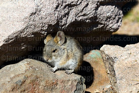 Bolivian big-eared mouse or Puna mouse (Auliscomys boliviensis)