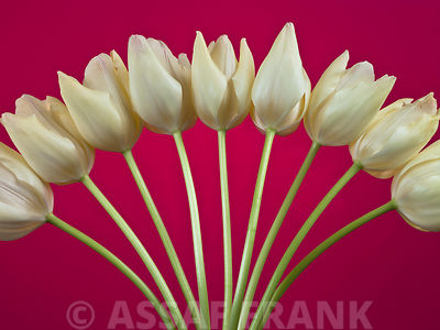 Fan shaped tulip flower arrangement