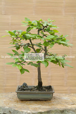 Carpinus communis, Collection Jean-Louis Mandolin, Bonsai, Digital, Outdoor Bonsai