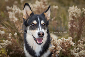 happy husky smiling in dried flowers