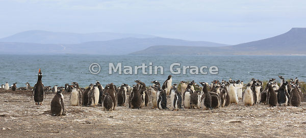 Gentoo Penguin (Pygoscelis papua papua) colony, Bernie's Beach, Pebble Island, Falkland Islands