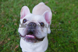 Close up of smiling cream french bulldog
