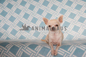 Chihuahua posing on modern abstract design blue sofa