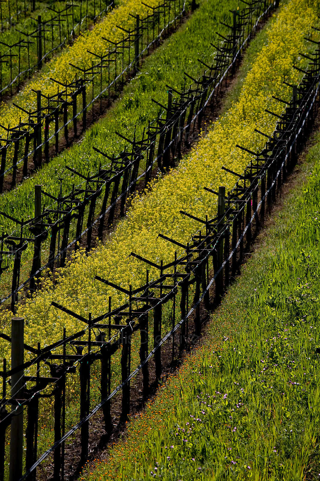 Wild mustard growing between rows of Napa Valley vineyards.