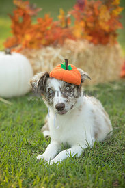 puppy in pumpkin hat with fall decor background outdoors