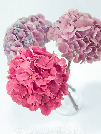 Three Hydrangea flowers in a vase