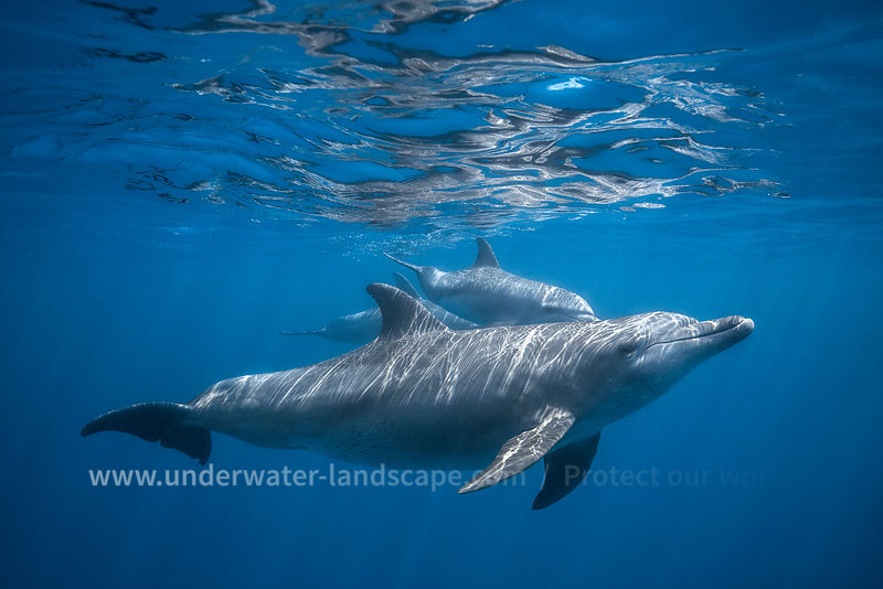 Pod of Bottlenose dolphin