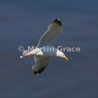 European Herring Gull (Larus argentatus) in flight, Bempton Cliffs, North Yorkshire, England