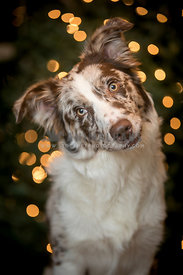 australian shepherd tilting his head in front of bokeh lights