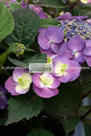 Hydrangea serrata Flair & Flavours Bluberry Cheesecake (hortensia), Mountain hydrangea, Tea of haeven, Arbuste rustique, Port...