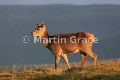 Red deer hind (Cervus elaphus) in late afternoon sunlight, Scottish Highlands