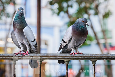 Pigeons perching on wrought iron rail in Old San Juan Puerto Rico