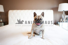 french bulldog sitting on bed with tongue curled up smiling looking at camera