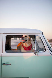 happy labrador in vintage vw van with red bandana