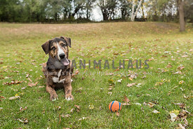 Hound dog mix with silly expression laying in yard with orange ball in the autumn