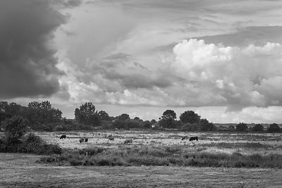 Cattle in water meadows BW version