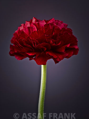 Ranunculus flower close-up, side view