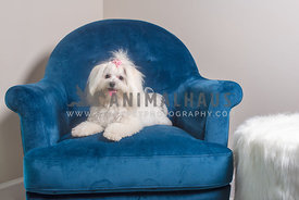 small white maltipom laying in blue velvet chair