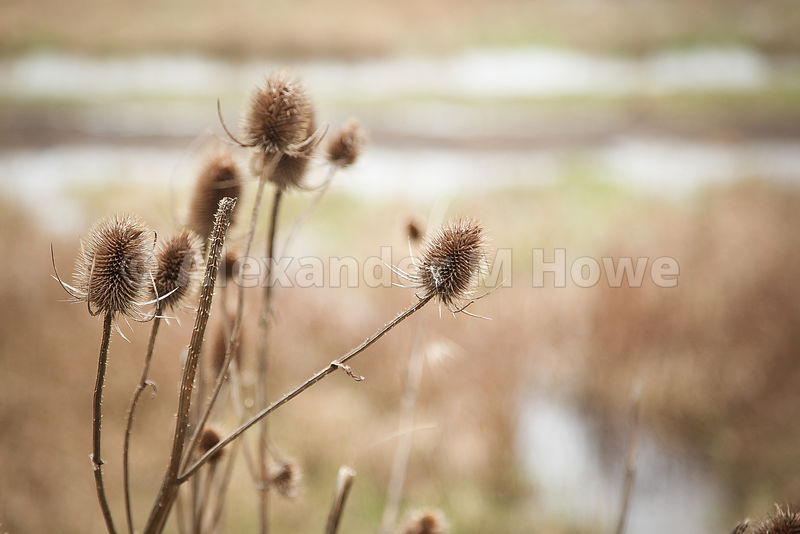 Teasels growing on the Parkway Marshes