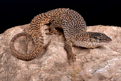 Northern Blunt-spined Monitor (Varanus primordius)
