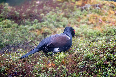 Capercaillie Eating Lingonberries in Rain