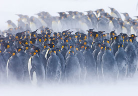 King Penguins Aptenodytes patagonicus huddled together during storm Right Whale Bay South Georgia November