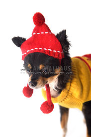 chihuahua wearing knit sweater and hat