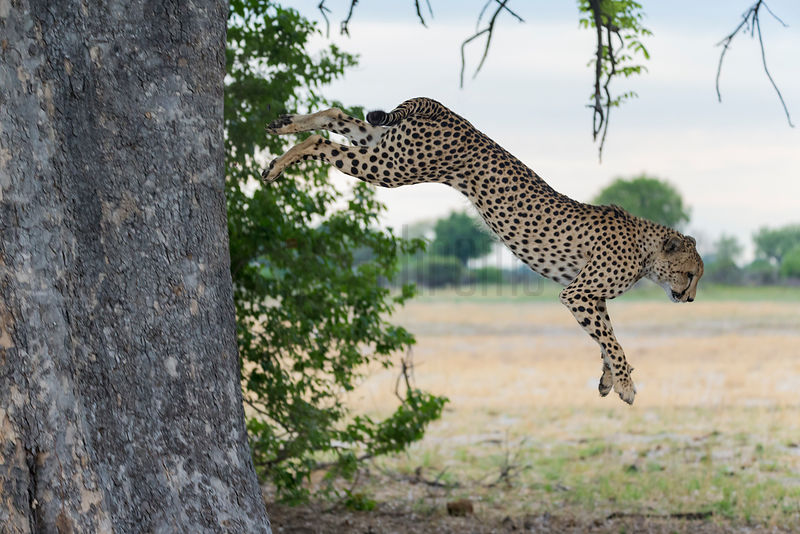 Male Cheetah Jumping out of a Tree