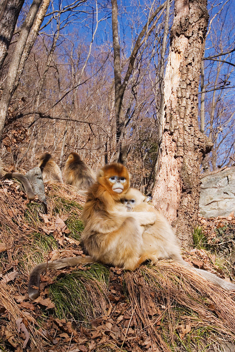 Family of Golden Monkeys, Qinling Mountains, Shaanxi Province, China