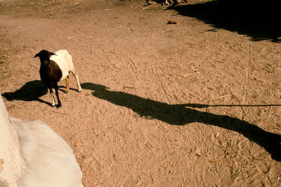 Anafo's shadow falls accross one of his goats