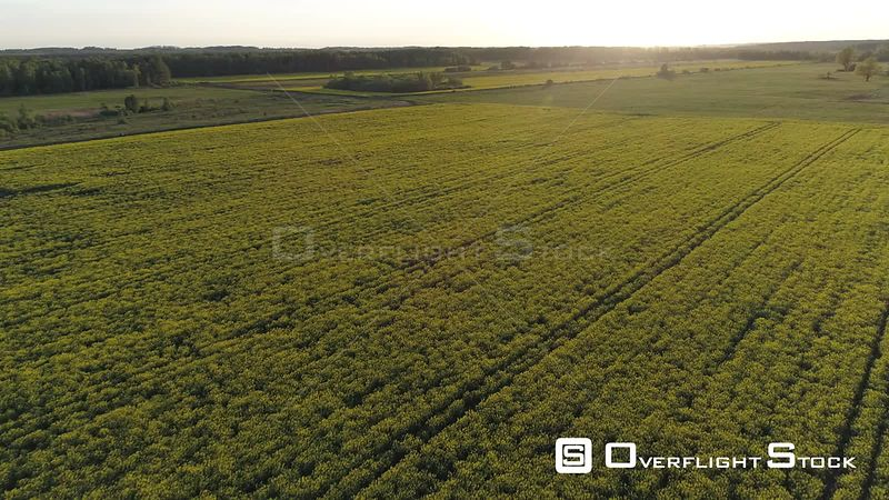 Aerial drone shot of rapeseed fields during sunset
