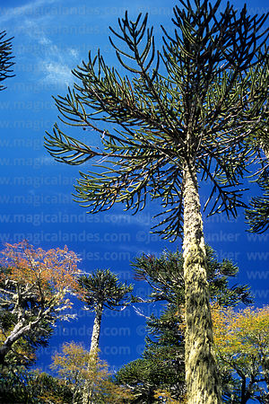 Monkey Puzzle (Araucaria araucana) and southern beech or Nothofagus trees in autumn, Huerquehue National Park, Region IX, Chile