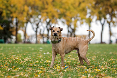 Small brown dog on a grassy field in autumn
